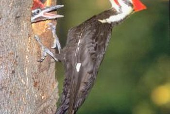 Pileated woodpeckers drill up to 16 holes in a single dead tree.