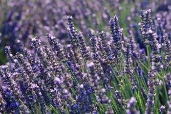 Lavender plants produce lavender-colored flowers.