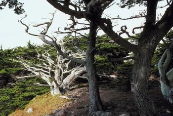 Lemon cypress is a type of Monterey cypress, and has similar care requirements.
