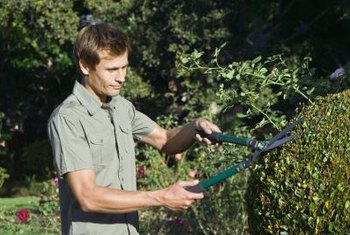Lopping shears help gardeners trim branches too thick for smaller hand pruners.