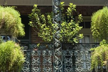 Tropical asparagus ferns adorn balconies year-round in warm climates.