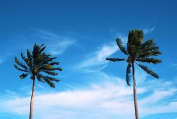 Sable palms grow to 80 feet in warmer climates.