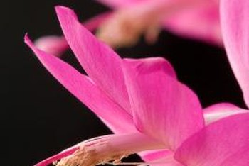 Christmas cactus flowers come in shades of rose, red, pink, lavender, cream, orange and white.