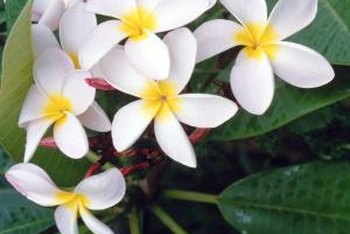 Plumeria leaves are long, wide and slightly waxy.