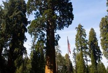 California redwoods commonly grow to 300 feet.