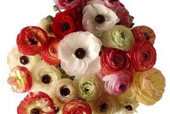 Cutting some ranunculus flowers can encourage more blooms on the plant.