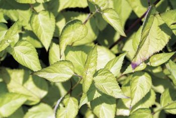 Camphor basil is propagated through seeds.