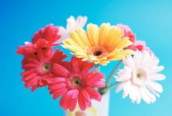 Gerbera daisies come in bright colors.
