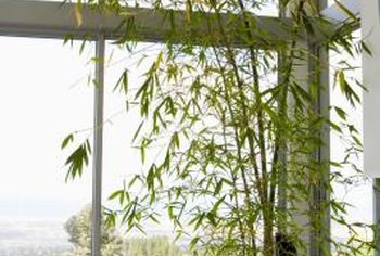 Even a healthy bamboo can have yellow and brown leaves.