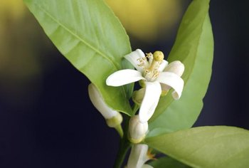 Lemon blossoms are usually white and yellow.