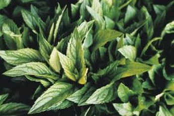 Mint leaves contain beneficial vitamin A.