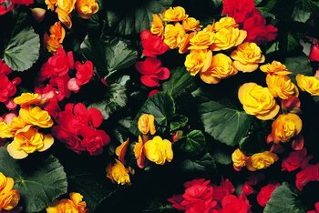 Give your Rieger begonia a dormant period to encourage it to bloom again.