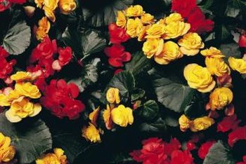 Wax begonias have rounded leaves that can be green or bronze.