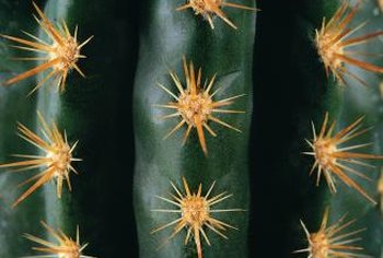 Healthy cacti are plump, but not obviously swollen with water.