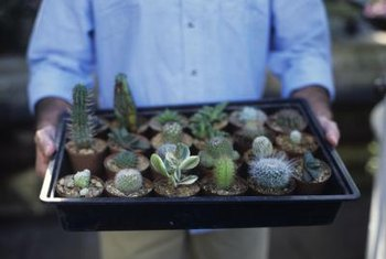 Lithops have similar needs to cactuses and other succulents.