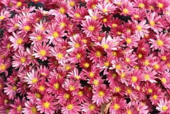 Most asters grow best in full sun, although some perform well in shady conditions.