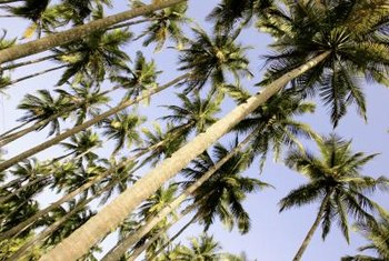 Palm trees either grow in tall single trunk or in multitrunk clumps.