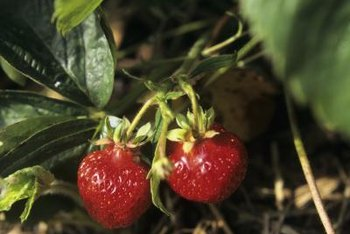 Bare-root strawberries begin growing once you plant them.