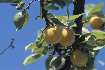 Apricot fruits form after blooms are pollinated in spring.