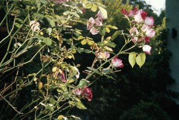 If well protected from cold snaps, rose bushes can flourish in the spring.