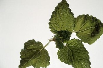 Lemon balm leaves have scalloped edges and a crinkly texture.
