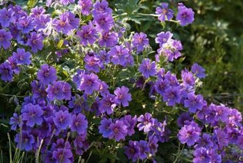 Hardy geraniums bloom throughout the summer, but do not come first on a deer's meal list.