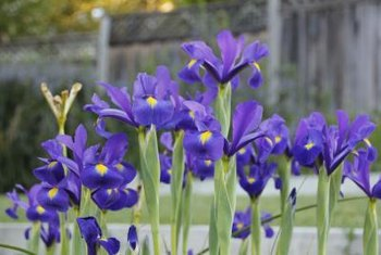 Grass and weeds can compete with irises for water, sun and nutrients.