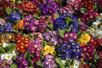 You can find primroses in virtually every color but green.