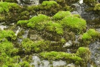 Moss often grows on rocks.