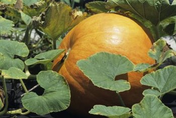 Bush pumpkins produce small fruit but take up less garden space.