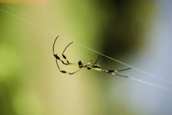Spiders help rid the home of insect pests.