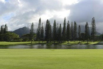 Norfolk Island Pines Regularly Grow 100 Feet Or Taller In Landscapes.