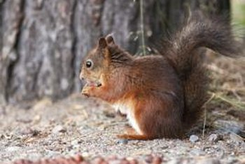 Squirrels must chew on things to maintain their teeth.
