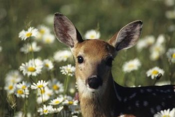 Deer are grazing animals that enjoy many types of plants.