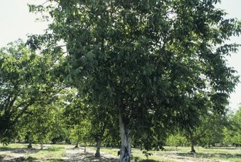 Walnut trees thrive in sunlight.
