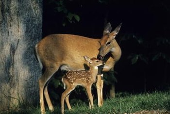 Some thrill to the sight of a doe and fawn, but gardeners may be less delighted.