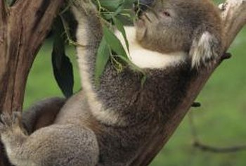 Koala bears feed on eucalyptus tree leaves.