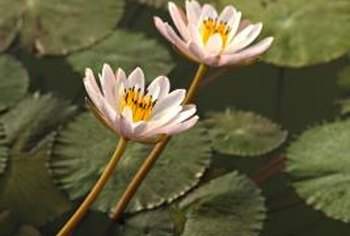 Water lilies perform best in fresh, clean water.