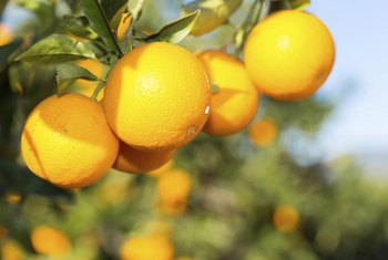 Oranges develop their sweetness during cold spells.