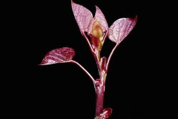 Some varieties of redbud have a reddish-purple hue on the young leaves.