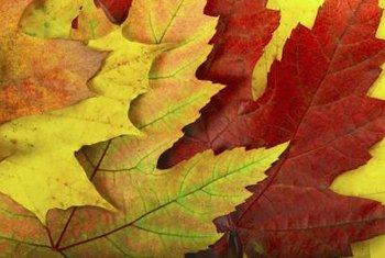 Maple leaves change colors when they stop producing food for the tree.