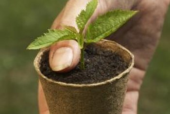 Peat pots break down naturally in the soil.