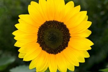 A sunflower's yellow petals surround a dark disk containing seeds.