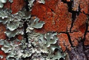 Extensive cracks in tree bark can lead to the death of the tree.