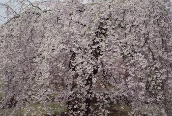 Weeping cherry trees often have a spread as wide as their height.