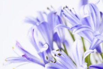 Flowering is a sign of a healthy African lily.