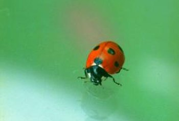 Ladybugs can eat harmful scale insects.