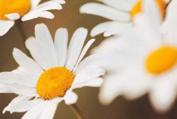 Shasta daisy flowers can grow to be 2 to 4 inches wide.