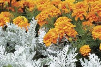 Dusty miller's silvery foliage contrasts with annuals' bright flowers.