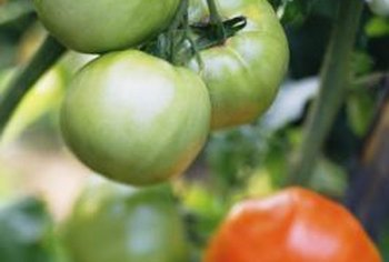 Clusters of ripening tomatoes need support to keep them off the ground.